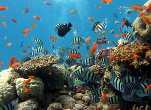Foto de um recife de coral com grande diversidade de corais e peixes. Ao fundo, é possível visualizar a água do mar em tom azul. São vários peixes alaranjados, peixes com listras pretas e corpo azul, peixes cinzas, peixes com pigmentos vermelhos no ventre, no dorso e na nadadeira caudal e peixes totalmente pretos. Todos esses animais estão situados em corais de cores branca e amarelo.