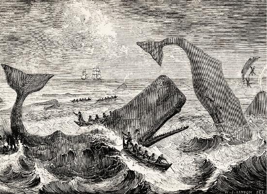 A imagem representa uma gravura de como era a caça de cachalotes. No mar e em meio a muitas ondas, há duas cachalotes principais em movimento, sendo atacadas por homens equipados de arpões que tripulam dois botes a remo. Inclusive um terceiro bote está no ar e seus tripulantes caídos, devido ao movimento brusco do animal. Em volta, há uma terceira cachalote respirando, portando há seu borrifo representado, e mais botes a remo e barcos maiores ao fundo.