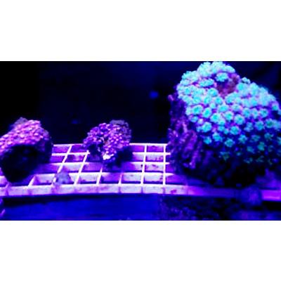 Foto de um viveiro de coral em um aquário. Há uma tela quadriculada suspensa, com pedaços de corais duros se desenvolvendo.
