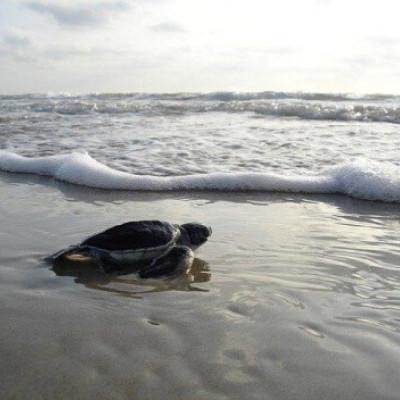 Imagem mostra um filhote de tartaruga arrastando sobre a areia no sentido do mar alcançando as ondas que formam um tipo de espuma.