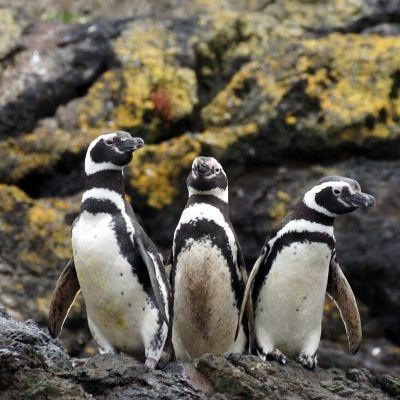 Fotografia de três pinguins de magalhães, animais com a barriga e pescoço de coloração branca com duas listras pretas. Ao fundo um paredão de rocha com musgos.