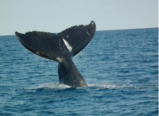 Imagem mostrando a nadadeira caudal de uma baleia. Como ela está mergulhando, conseguimos ver somente a sua cauda.