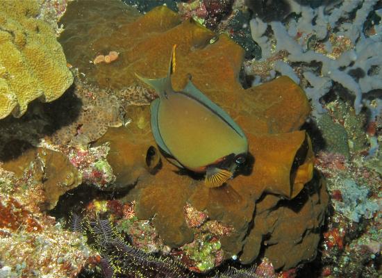 A fotografia mostra um peixe de cor azul e marrom, ambos opacos, beliscando a superfície da esponja, que tem formato irregular, dotada de poros, que possui cor marrom escuro.