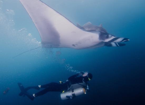 Fotografia submersa no mar azul escuro. Há uma manta nadando na direção direita na parte superior da foto e, abaixo, há um mergulhador com cilindro posicionado em decúbito dorsal olhando para a manta.
