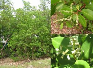 Montagem de três fotografias. Na primeira vemos uma árvore de mangue branco. Na segunda vemos um galho mais próximo dessa árvore em que podemos ver algumas flores e na terceira temos a visualização das flores de mangue branco mais próximas e ao fundo algumas folhas.
