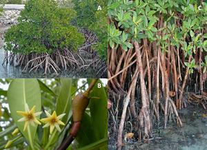 Montagem com três fotografias. Na primeira imagem temos uma planta inteira de mangue vermelho, em que podemos ver as raízes escora e as suas folhas verdes de longe. Na segunda imagem temos duas flores amarelas e do lado um fruto do mangue vermelho em primeiro plano e em segundo plano temos as folhas. Na terceira imagem temos várias raízes do mangue vermelho em água mostradas de perto e na parte superior algumas folhas.