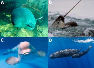 Imagem formada por quatro fotos. 1- um focenídeo no fundo do mar. 2- um narval com a cabeça e seu enorme dente para fora da água. 3- uma beluga no fundo do mar. 4- uma cachalote com seu filhote no fundo do mar.