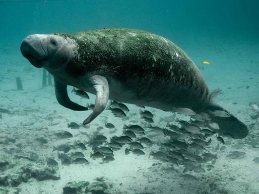 Peixe-boi: um dócil animal ameaçado