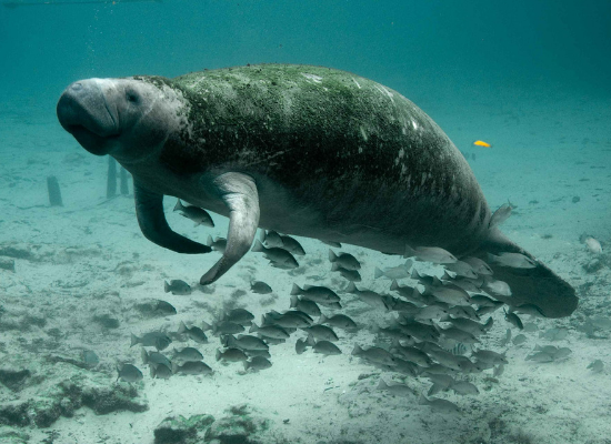 Imagem de um peixe-boi nadando no fundo do mar com vários peixes ao seu redor.