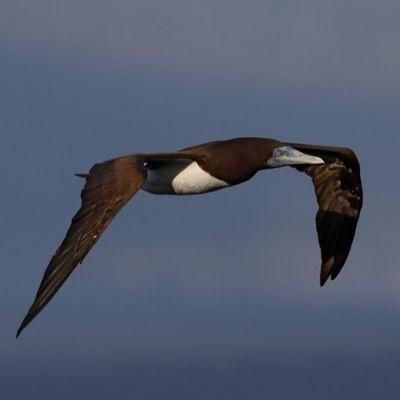 Fotografia de um atobá-marrom voando. É uma ave grande, com a maior parte do corpo marrom e o peito branco.