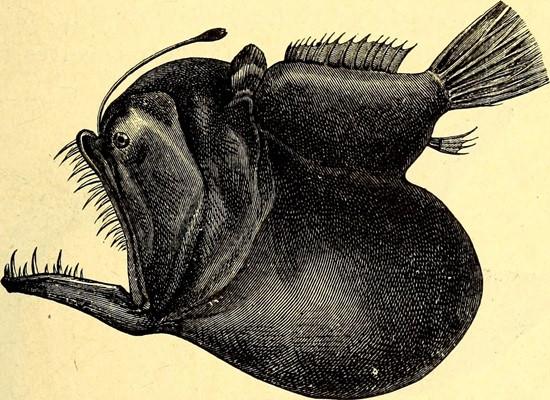 """Ilustração representativa de corpo inteiro de uma fêmea do peixe-diabo negro. Vemos seu estômago que forma uma """"barriga"""" abaixo do animal, a antena com uma saliência na extremidade e sua boca aberta com seus enormes dentes."""