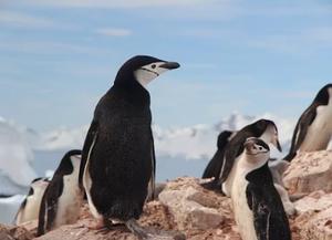 Foto de dois pinguins, em primeiro plano, em cima de pedras. O mais à esquerda está de costas para a câmera, olhando para a direita. O segundo pinguim está de lado, olhando para a esquerda, em direção à câmera. No segundo plano vemos mais pinguins em cima das pedras. No terceiro plano está o horizonte com o céu e várias montanhas congeladas