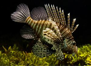 Imagem de um peixe-leão de coloração marrom e bege, mostrando as suas nadadeiras ornamentadas. Ao fundo da imagem podemos ver alguns organismos autotróficos.