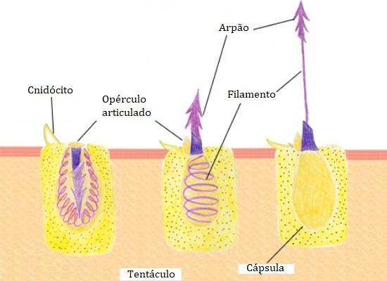 A imagem mostra três cnidócitos em três estágios diferentes. No primeiro a célula esta em repouso, no segundo mostra o inicio da ativação do nematocisto e a terceira apresenta já o nematocisto todo esticado.