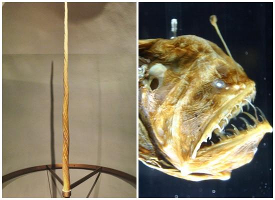 Duas fotografias. à esquerda temos a foto do que seria um chifre de unicórnio, com um formato em espiral, longo, fino e pontiagudo, apoiado em uma base de madeira para exposição. Na fotografia da direita podemos ver o rosto de um peixe-diabo negro com tons de amarelo, com a boca entreaberta mostrando seus dentes afilados, com o fundo escuro da zona abissal. O olho parece brilhar e há uma estrutura em formato de antena.