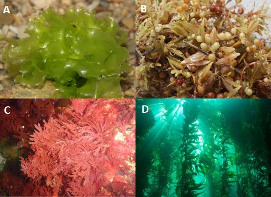"""Composição de quatro fotografias. Em cima, à esquerda: Letra A, alface-do-mar, representando as algas verdes. Em cima, à direita: letra B, espécies do gênero Sargassum, representando as algas pardas. Embaixo, à esquerda: letra C, espécie de alga vermelha. Embaixo, à direita: letra D, """"Floresta de Kelps"""" formada por algas pardas."""