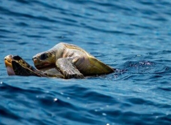 A foto mostra o oceano com duas tartarugas com a metade inferior submersa copulando, sendo um macho em cima da fêmea, na localidade que chamamos de área de reprodução.