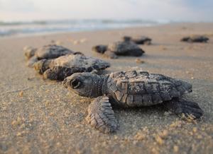Foto de seis filhotes de tartarugas-marinhas na praia, indo em direção ao mar, com areia sobre seus corpos.