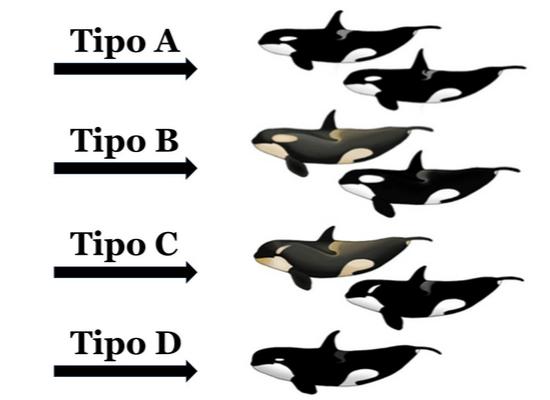 Ilustração que mostra os tipos de ecótipos encontrados em orcas indicados por setas. A seta A indica orcas pretas dorsalmente com manchas oculares de tamanho médio a seta B mostra uma orca preta dorsalmente mas com tom amarelado ao longo do dorso e ventre, a mancha ocular é grande e ao lado outra orca preta dorsalmente e branca ventralmente com grande mancha ocular. A seta C indica orcas de cabeça mais arredondadas que as demais com o corpo podendo ser preto dorsalmente e branco ventralmente ou preto e amarelo dorsalmente e amarelado ventralmente. A mancha ocular é uma elipse fina no sentido diagonal. A seta D indicaorcas com cabeça arredondada e nadadeira dorsal proeminente, a mancha ocular é bastante pequena e em elipse no sentido horizontal.