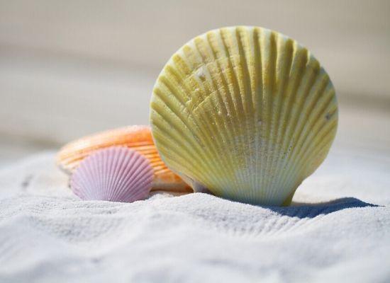Em primeiro plano a fotografia mostra três conchas de diferentes cores enterradas na areia. Possuem um formato semicircular com a base reta e ranhuras em sua superfície.