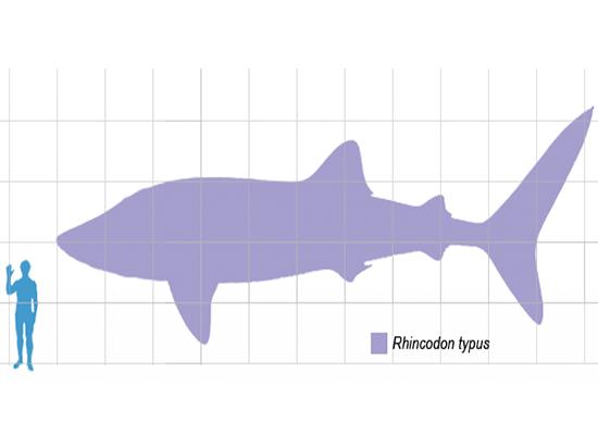 Imagem com a sombra de um homem no canto inferior esquerdo e a sombra de um tubarão-baleia na parte direita.