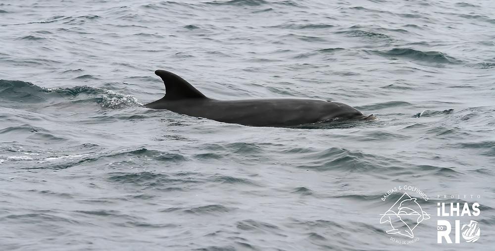 Golfinho-fliper. A imagem mostra as marcas na borda posterior da nadadeira dorsal, que são únicas tornando possível o reconhecimento de distintos indivíduos. A nadadeira dorsal está posicionada no centro do dorso do animal. É alta e falcada.