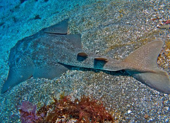 Foto de um tubarão-anjo visto de cima, repousando na areia no fundo do mar. A imagem mostra seu corpo achatado e suas grandes e largas nadadeiras.