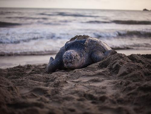 Desova das tartarugas marinhas: a grande jornada de volta à praia natal