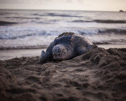 Na imagem vemos uma tartaruga de couro (ela é negra com pequenas pintas brancas espalhada por todo corpo). A tartaruga se arrasta por cima de uma areia mais escura com aspecto de molhada no sentido oposto ao mar (saindo da água). Ao fundo pode se ver a água do mar formando pequenas ondas.