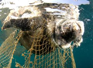 Foto de uma tartaruga flutuando no oceano, de cabeça para baixo, presa numa rede de pesca, morta.