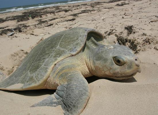 Foto de uma fêmea de tartaruga marinha sobre a areia clara depositando ovos em uma cova (ninho), a areia está com prováveis algas, que na foto está representado por trechos mais escuros, e mais ao fundo da imagem tem-se o mar com pequenas formações de ondas.