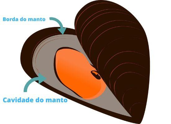 A imagem mostra o desenho de um mexilhão aberto com setas apontando e nomeando duas estruturas anatômicas: a borda do manto, na parte mais externa, e a cavidade do manto, mais interna. A concha superior vemos somente a parte externa, de coloração marrom. A concha inferior vemos a borda do manto, o manto de coloração cinza e uma massa laranja que provavelmente é o conjunto de órgãos.