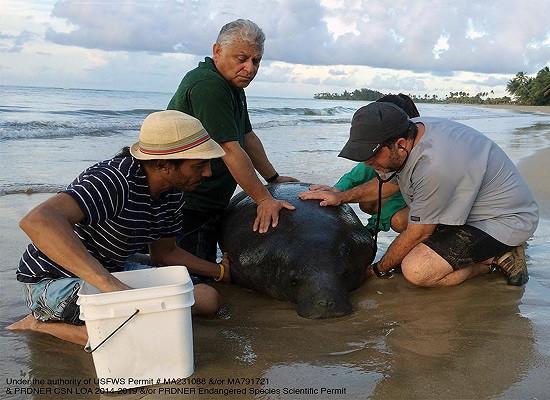 Quatro pessoas na praia cuidando de um peixe-boi que provavelmente encalhou.