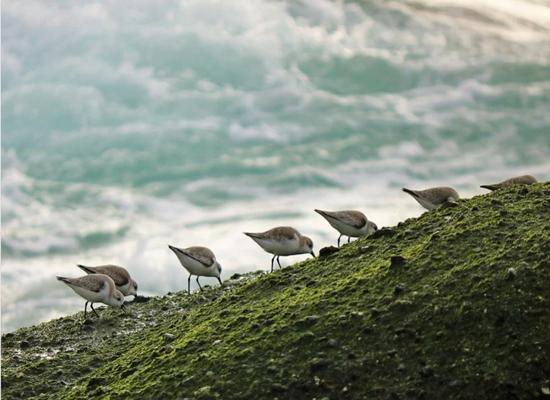 Foto de sete aves marinhas em uma montanha de coloração verde a marrom voltadas com o bico para o chão. Elas estão como que à procura de alimento. Ao fundo veem-se as águas do mar.