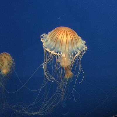 Em um fundo azul há duas águas-vivas com aspecto alaranjado e longos tentáculos.