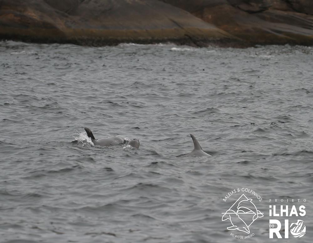 Três golfinhos-fliper se deslocando no anel interno do Arquipélago das Cagarras. Ao fundo, aparece a Ilha Comprida, de formato alongado. A esquerda Manon (catalogada como RJ#012) e a direita Chapéu de Bruxa (catalogado como RJ#001) e no meio, o pequeno filhote.