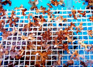 Foto de um berçário de corais. Tem uma tela branca, quadriculada, onde se tem pedaços de corais duros.