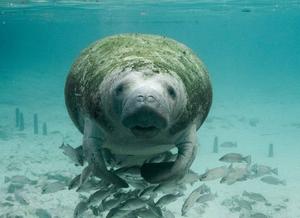 Imagem de um peixe-boi coberto com uma camada de musgo. Na parte inferior dele há vários peixes.