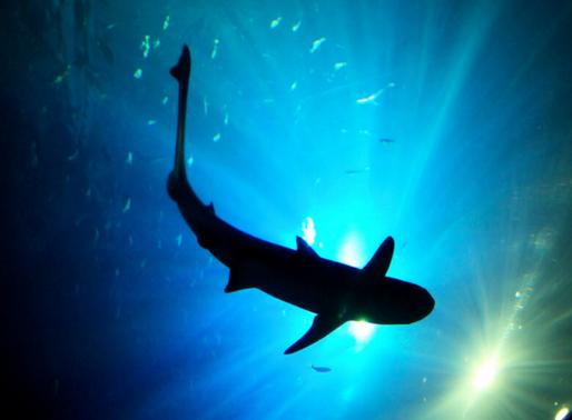 A vida secreta dos tubarões: alguns predadores não convencionais