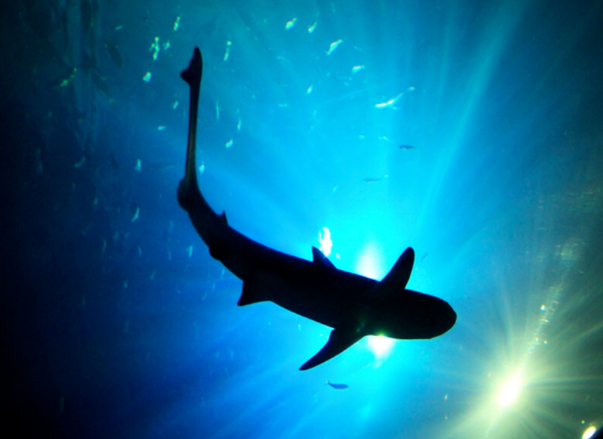 Fotografia onde podemos ver a silhueta de um tubarão-leopardo nadando com alguns peixes em volta. No segundo plano a superfície com tons de azul e verde iluminada pela luz do sol.