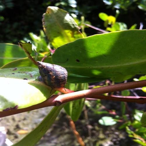 Foto de um caramujo sobre o galho marrom de uma planta de mangue. Ao redor, veem-se várias folhas verdes.