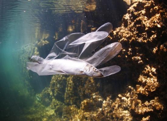 Foto de uma espécie de peixe em seu habitat natural que se encontra imobilizado dentro de uma luva plástica.