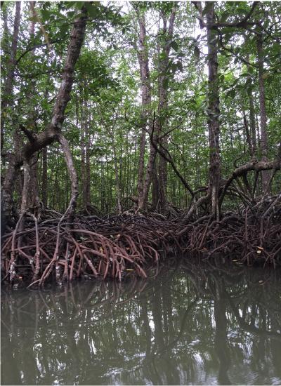 Figura do manguezal com várias árvores tipicas desse local alagadas.