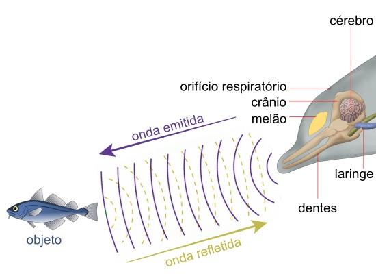 A imagem mostra do lado direito a parte interna da cabeça de um golfinho, contendo as estruturas: cérebro, orifício respiratório, crânio, melão, dentes e laringe. Esse golfinho emite ondas sonoras que refletem em um peixe azul no lado esquerdo e essas ondas retornam ao golfinho.