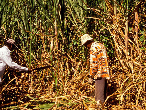 Salt water intrusion causes loss to cane farmers
