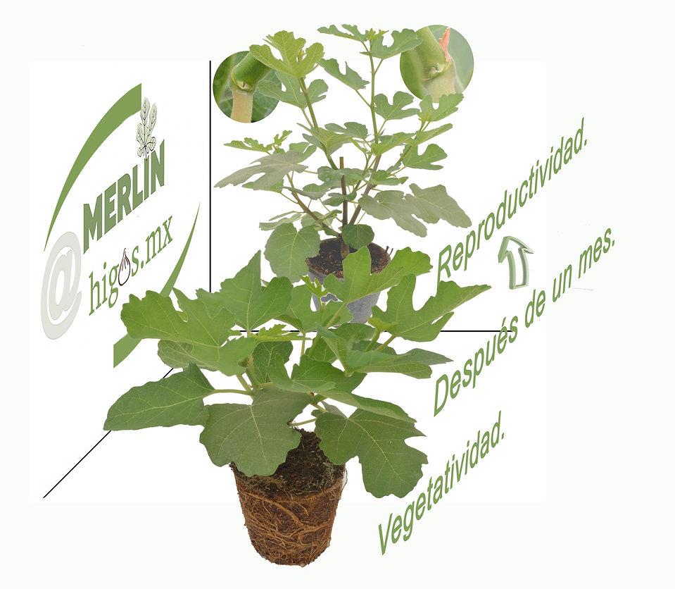 Vegetatividad y reproductividad  en higo black mission.