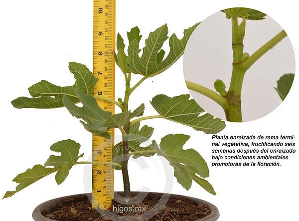 Planta de higo black mission fructificando a las seis semanas  despues del enraizado.