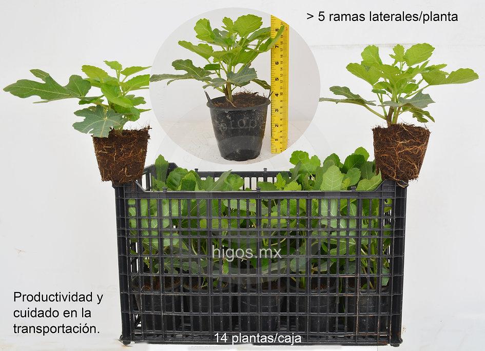 Empaque para la transportación eficiente de planta de higo black mission