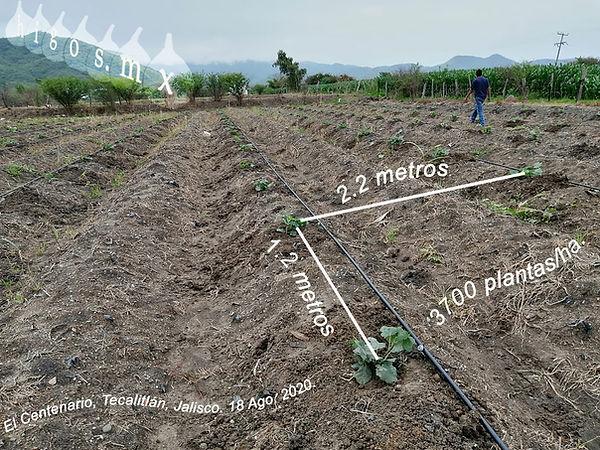 Plantado higo Black Mission  El Centenerio Tecalitlan, Jalisco 18 ago. 2020