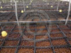 Merlin propagacion  de planta de higo black mission